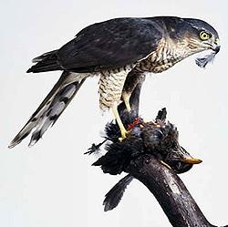 ястреб-перепелятник с жертвой (Accipiter nisus), фото, фотография с http://dkimages.com/