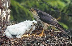 ястреб-перепелятник в гнезде с птенцами (Accipiter nisus), фото, фотография с http://ivnvechtplassen.org/