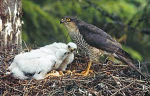 ������-������������ � ������ � �������� (Accipiter nisus), ����, ���������� � http://ivnvechtplassen.org/