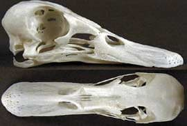 череп чирка синекрылого, чирка голубокрылого (Anas discors), фото, фотография с