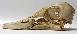 череп свиязи (Anas penelope), фото, фотография с http://biopix.dk/