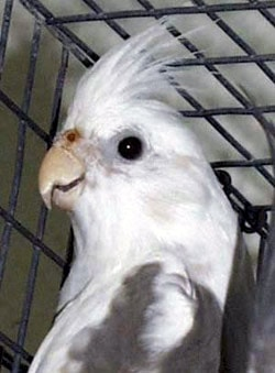 попугай корелла, карелла, фото, фотография