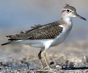 пятнистый перевозчик (Actitis macularia), фото, фотография с http://birdwebsite.com