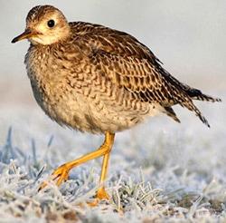 песочник длиннохвостый (Bartramia longicauda), фото, фотография с http://www.cvlbirding.co.uk, by Rich Andrews