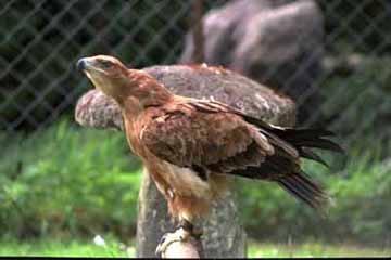 степной орел, орел степной (Aquila rapax), фото, фотография