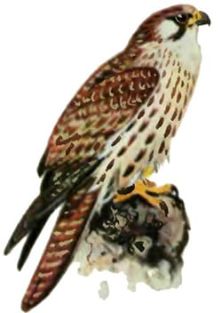 Обыкновенный балобан (Falco cherrug cherrug), сокол-балобан фото, фотография, фото с nature.ok.ru