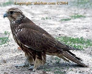 Сибирский балобан falco cherrug saceroides балобан сибирский  Сибирский балобан falco cherrug saceroides