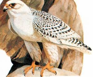 кречет (Falco gyrfalco) белая форма морфа, фото, фотография, фото