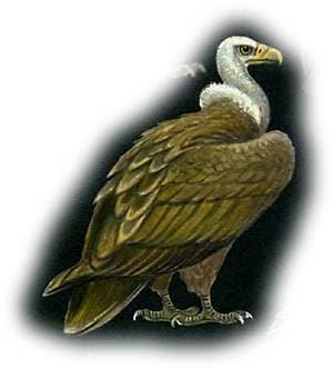 белоголовый сип, сип белоголовый обыкновенный (Gyps fulvus), картинка, рисунок