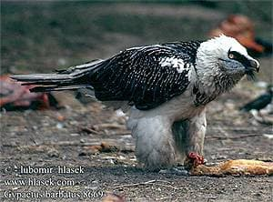 бородач, или ягнятник (Gypaetus barbatus), фото фотография с http://www.hlasek.com/foto/gypaetus_barbatus_8669.jpg