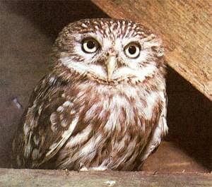 Домовый сыч (Athene noctua), фото фотография с