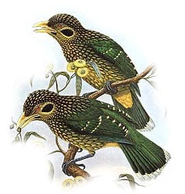 шалашик (Ailuroedus melanotis), фото, фотография с http://oiseaux.net/