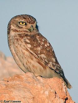 Домовый сыч (Athene noctua), фото фотография с http://www.israbirding.com/articles/prey_composition_owls_yosef/little_owl_eyal.jpg