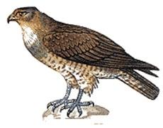 змееяд (Circaetus ferox), фото фотография с http://www.ecosafe.pu.ru/Red_Book/CIRCAET.GIF