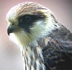 Восточный кобчик, амурский кобчик (Falco vespertinus amurensis ...