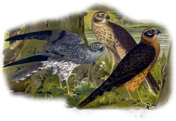 луговой лунь - пара взрослых и подросток (Circus pygargus), рисунок картинка