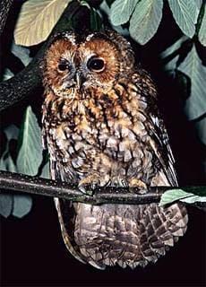 Обыкновенная неясыть, серая неясыть (Strix aluco), фото фотография http://www.djsphotography.co.uk/images/Birds/Tawny-Owl-9.jpg