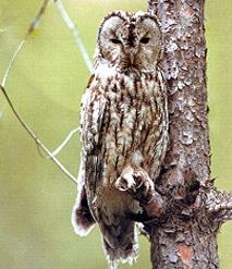 Обыкновенная неясыть, серая неясыть (Strix aluco), фото фотография http://www.holst.no/Ingar.Holst.Publishing.Co/ordbok/illustrations/birds/strix-aluco.jpg