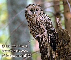 Уральская неясыть, длиннохвостая неясыть (Strix uralensis), фото фотография http://www.cso.cz/wpimages/foto/D-Strix_uralensis01.jpg