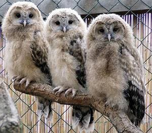 Уральская неясыть, длиннохвостая неясыть (Strix uralensis) птенцы, фото фотография http://www.zoo-ohrada.cz/vz2003/vzfoto/xpustik.jpg
