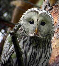 Уральская неясыть, длиннохвостая неясыть (Strix uralensis) птенцы, фото фотография http://www.juuanlintuharrastajat.net/Kuvagalleria/viirupollo.jpg