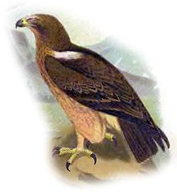 Орел-карлик (Aquila pennata), рисунок картинка
