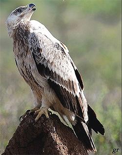 степной орел (Aquila rapax), фото фотография с http://s190.photobucket.com/albums/z257/americanwildlife/Bird/Golden-Eagle-2.jpg
