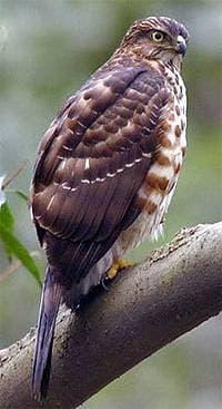 Малый перепелятник (Accipiter virgatus), фото фотография с http://www.gsbhq.com/NaturalResource/zhengxidongwu/zhengxidongwu05/zhengxidongwu05.files/???.jpg