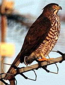 Малый перепелятник (Accipiter virgatus), фото фотография с http://www.birdforum.net/opus/images/a/ae/Crested_Goshawk_a.jpg