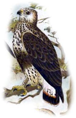 Мохноногий канюк (Buteo lagopus), рисунок картинка