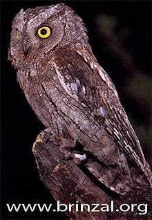 Обыкновенная сплюшка или зорька (Otus scops), фото фотография http://www.brinzal.org/especies/autillo2.jpg