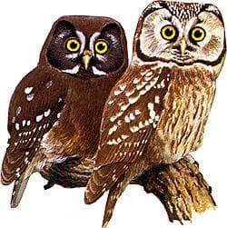 мохноногий сыч (Aegolius funereus), рисунок картинка http://home.swipnet.se/sonoloco2/Rec/Stockhausen/inoriowl1sam.gif