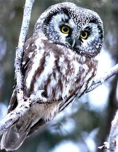 мохноногий сыч (Aegolius funereus), фото фотография http://www.ecotravel.ctaudubon.org/Photos/images/boreal_owl.jpg