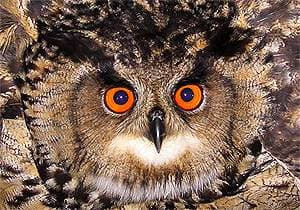 Филин (Bubo bubo), фото фотография by Kjetil Aa. Solbakken, http://www.birdingnorway.no/news/img/20041023_hubro.jpg