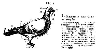 Название частей тела голубя