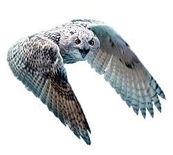 Филин (Bubo bubo), фото фотография http://www.theanimalworld.ru/img/encycl/birds/big/filin.jpg