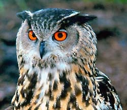 Филин (Bubo bubo), фото фотография http://www.hawkquest.org/mews/Eurasian_Eagle_Owl.jpg