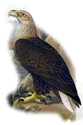 Обыкновенный орлан белохвост (Haliaeetus albicilla), рисунок картинка птицы