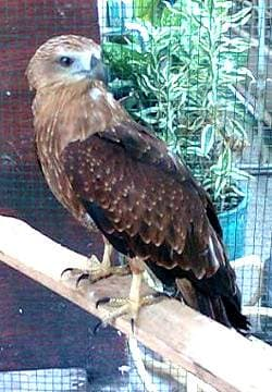 Хохлатый осоед (Pernis ptilorhynchus), фото фотография By Maryati Rahayu, http://mepow.files.wordpress.com/2009/08/oriental-honey-buzzard1.jpg?w=453&h=604