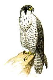 Обыкновенный сокол, сапсан (Falco peregrinus), фото фотография http://www.nature.ok.ru/picture/birds/2-52.jpg