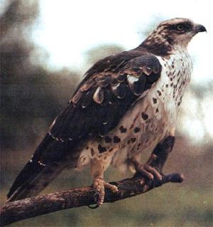 Скопа (Pandion haliaetus), фото фотография хищные птицы