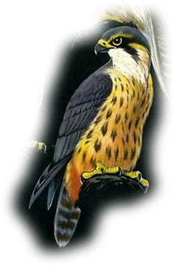 Чеглок (Falco subbuteo), фото фотография