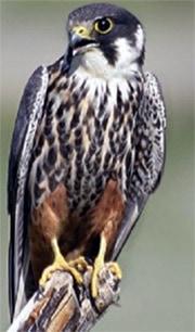 Чеглок (Falco subbuteo), фото фотография http://birds-altay.ru/wp-content/uploads/2009/10/09-350x378.jpg