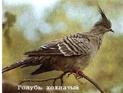 хохлатый голубь, хохлатый бронзовокрылый голубь (Ocyphaps lophotes), фото, фотография