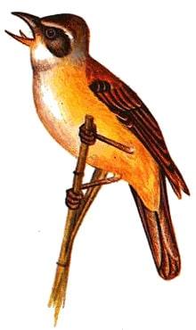 Дроздовидная камышевка, дроздовая камышовка (Acrocephalus arundinaceus), рисунок картинка