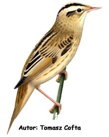 Вертлявая камышовка, вертлявая камышевка (Acrocephalus paludicola), фото фотография с http://f.polska.pl/gal/156/41/182/med.jpg