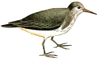 Перевозчик (Actitis hypoleucos), рисунок картинка