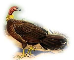Кустарная индейка, или австралийская большеногая курица (Alectura lathami), рисунок картинка