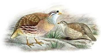 Пустынная курочка (Ammoperdix griseogularis), рисунок картинка с http://solene.ledantec.free.fr/Gallinaces/moyenplan/si-si.jpg