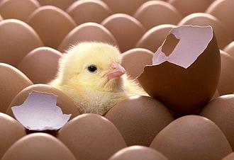 цыпленок вылупившийся из гнезда, ципленок, фото фотография